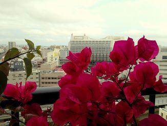 ブーゲンビレアがきれいに咲いています