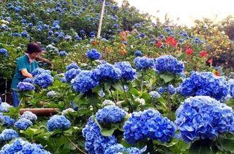 五分咲きを迎えた色鮮やかなアジサイ=13日、本部町伊豆味のよへなあじさい園