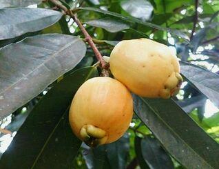甘くて上品な香りを放つフトモモの果実=17日、西表島西部の山中