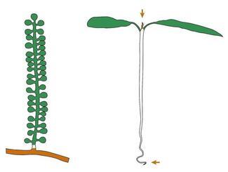 海ぶどう(左)と陸上植物の比較。図中、緑色部分は光合成に関わる遺伝子が盛んに働いている部位、オレンジ色部分はDNAの合成に関連する遺伝子が盛んに働いている部位(OIST提供)