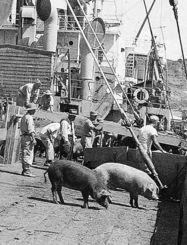 沖縄へ豚を送る途中の船上写真。ジョン・イトムラさんの祖父島袋眞栄氏が保管していた=1948年(イトムラさん提供)