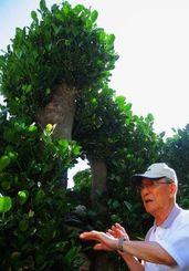 玉城誠栄さんが戦時中に隠れたフクギ。当時の3分の1ほどの高さに伐採されていた=今帰仁村今泊