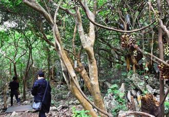 亜熱帯の樹々が密生する大石林山の「やんばる森林コース」。イルカンダ(右)が見頃を迎えている=18日、国頭村宜名真・大石林山
