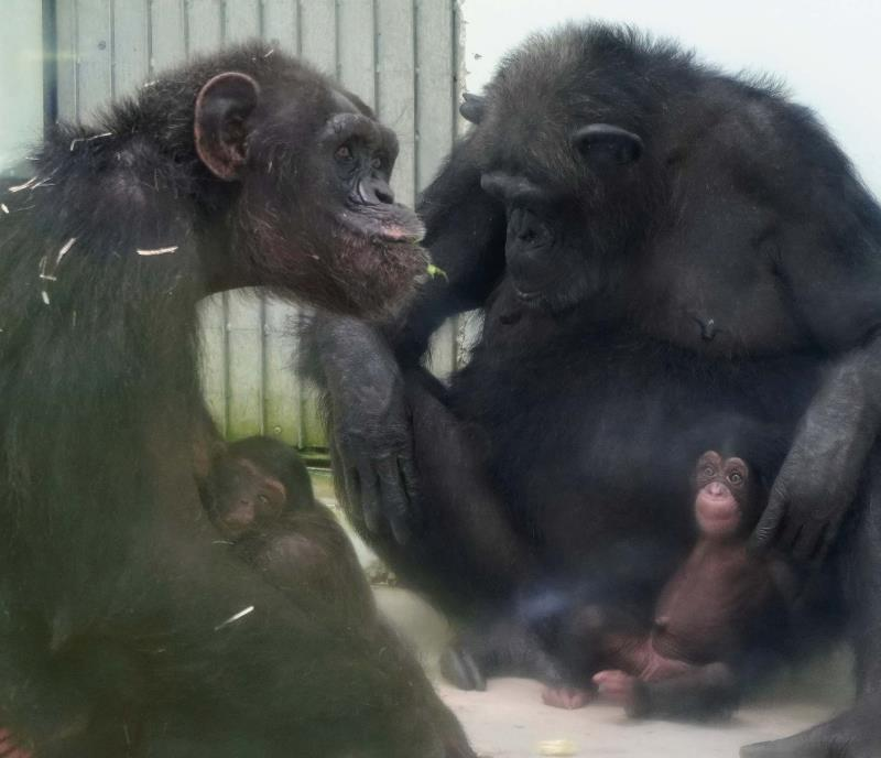 チンパンジー 子供