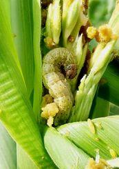 (資料写真)食用スイートコーンの葉鞘部などに侵入して食害するツマジロクサヨトウ(県病害虫防除技術センター提供)