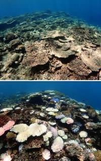 海底覆うサンゴ半減 八重山の石西礁湖、今年も海水温上昇で「白化、油断できない」