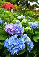 梅雨空の下、鮮やかに咲き始めたアジサイ=17日午後、本部町伊豆味・よへなあじさい園(渡辺奈々撮影)