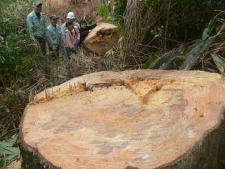 切り倒された樹齢140年のリュキュウマツ=名護市屋我地