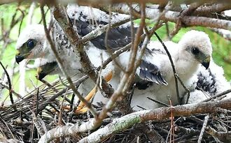 巣で親鳥を待つひな