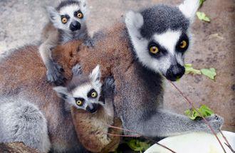 餌を食べる母親のマハロにしがみつく、双子のエハー(上)とエコル=4日、名護市・ネオパークオキナワ