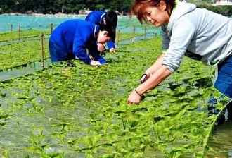 (資料写真)アーサの収穫