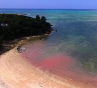 海をピンクに染めるのは… サンゴの産卵、5~6月ピーク