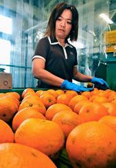 タンカンの選別作業をする従業員=10日、名護市・JAおきなわ北部地区営農振興センター