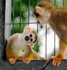 コモンリスザルの「テンズー」(左)と母ザルのアズ-=17日、沖縄市の東南植物楽園(比嘉太一撮影)