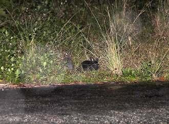 やんばるの森で目撃された野良ウサギ=11日、国頭村(知花史尚さん提供)