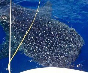 船に近づくジンベエザメ=6月27日、西表島沖