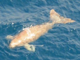 (資料写真)2012年に沖縄本島北部沖で撮影されたジュゴン