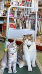 店の近くで2カ月前に保護した雌ネコ「きぃちゃん」(左)と並ぶ、名物店長の「ジャブ」=17日、伊江村川平