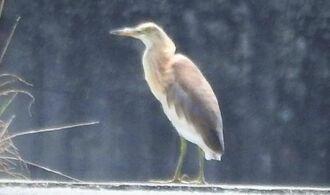 多良間村のため池近くで羽を休めるジャワアカガシラサギ=27日(羽地邦雄さん撮影)