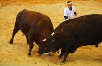 耐えた誠月龍、ど根性逆転劇 うるま祭り闘牛