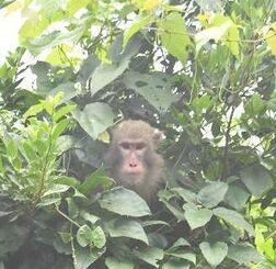 山を逃げながら木々の間から顔をのぞかせるヤクシマザル=27日午後1時33分、沖縄市・沖縄こどもの国