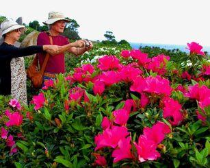 色鮮やかなツツジの写真を撮る来園者=2月28日、東村平良の村民の森つつじ園