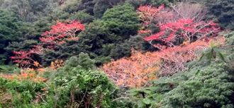 イイギリやセンダンの実が色づき紅葉を思わせる山=6日、今帰仁村謝名
