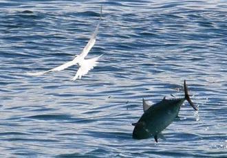 小魚を狙うアジサシ(左)と海面から跳ねるアジ=1日午後0時8分、名護市辺野古のキャンプ・シュワブ沖