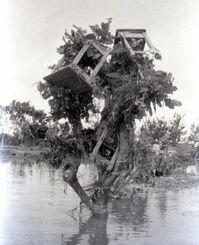 被害の大きかった真喜屋小学校。海となった校庭のデイゴ(高さ4メートル)のてっぺんには、流された机、いすが引っ掛かっていた=1960年5月24日、羽地村(現名護市)真喜屋