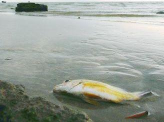 時折呼吸する、仮死状態で打ち上げられた魚=午後0時43分、宮古島市・島尻海岸