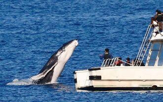 遊覧船近くに現れたクジラ=1月31日午前9時40分ごろ、北谷町宮城の沖合(安里猛さん提供)