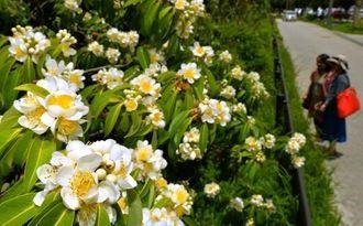日差しを浴び、甘い匂いを漂わせるイジュの花=5日、読谷村座喜味(伊藤桃子撮影)