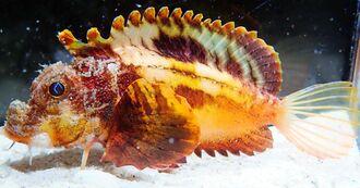 世界初となる生体展示を開始したアダヒメオコゼ。砂に潜っていることが多い(国営沖縄記念公園・海洋博公園提供)