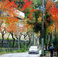 鮮やかに紅葉 ナンキンハゼ/名護大中区の沿道
