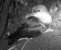[きょうナニある?]/話題/小笠原の鳥 固有種と判明/絶滅の恐れ 保全期待
