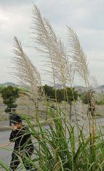 北風に吹かれて揺れるサトウキビの穂=22日午後、八重瀬町富盛(国吉聡志撮影)