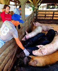 豚の体調をチェックする沖縄南国フーズの従業員(手前)とNTTドコモ法人の佐藤志保氏=八重瀬町の沖縄南国フーズ