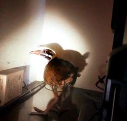 宮城光明さん宅のテレビの後ろに隠れるヤンバルクイナ=7月18日午後2時半ごろ、大宜味村田嘉里(宮城光明さん提供)
