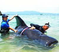 流血のクジラ、6時間かけ救出 沖縄美ら海水族館のチーム 元気に大海へ