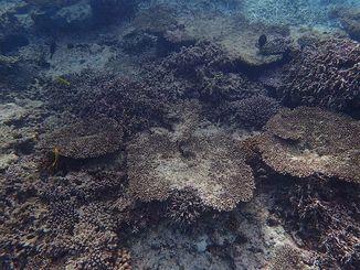 白化現象による死滅後、藻類に覆われて茶色に変色した石西礁湖のサンゴ=2016年12月21日(環境省那覇自然環境事務所提供)
