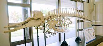展示されたタイヘイヨウアカボウモドキのオスの全身骨格標本