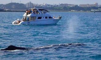 潮を吹きながら那覇港内を泳ぐマッコウクジラ(手前)=8日午前8時30分ごろ(海風だいばーず提供)
