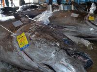 今期のクロマグロ漁禁止 資源管理協会が通告 沖縄県内62隻に影響