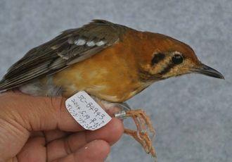 久米島町の鳥類生態調査で捕獲されたオレンジジツグミ(前原一統さん提供)