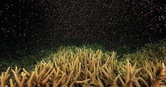 神秘的なミドリイシ科サンゴの産卵=5月26日、渡嘉敷村・阿波連ビーチ沖(長谷和典さん提供)