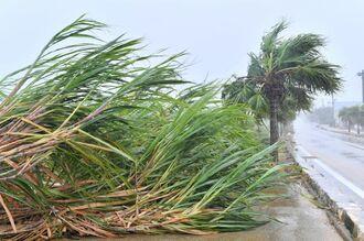 強風に煽られるサトウキビと街路樹=5日午後1時59分、南大東村・大東糖業近く