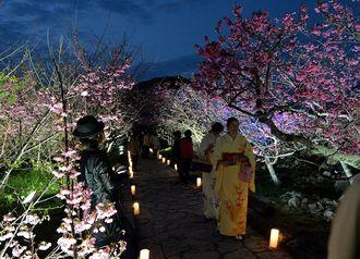 今帰仁城跡は桜の名所。シーズン中は多くの来場者でにぎわう