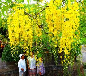 黄金色の花がシャワーのように降り注ぐゴールデンシャワー=本部町嘉津宇