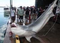 500キロ超の大物サメも 沖縄・八重山、漁具被害防止で60匹水揚げ