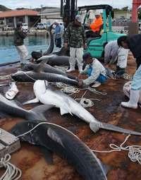 最大3.8メートルのサメ駆除 沖縄・渡名喜島 漁業被害防止で